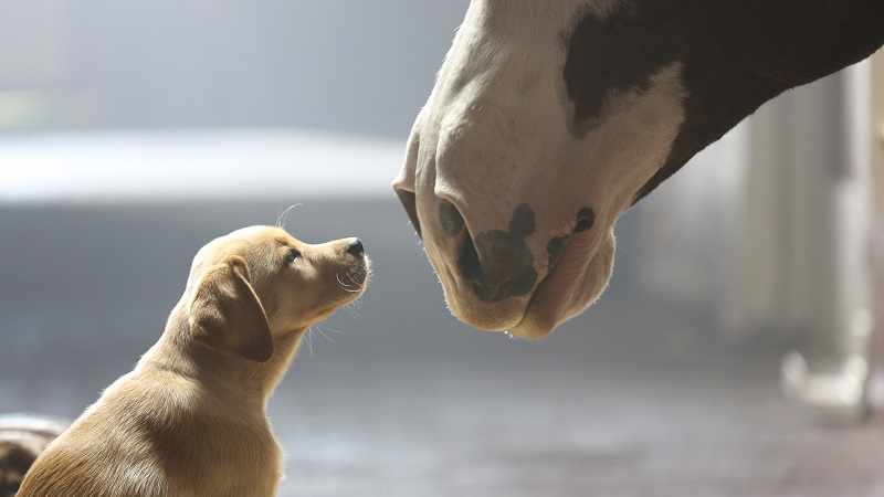 grippe equine cheval chien