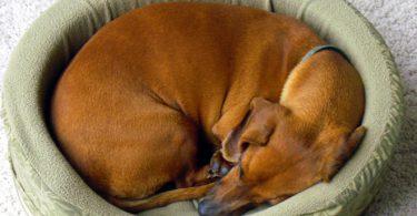 Pourquoi les chiens tournent avant de se coucher