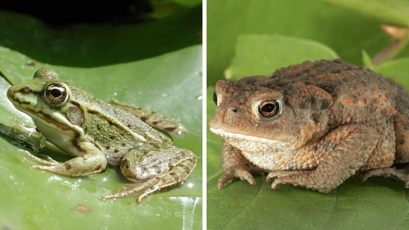 Difference entre crapaud et grenouille