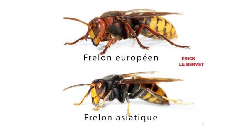 Difference entre frelon et frelon asiatique