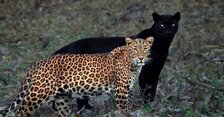 Difference entre leopard et panthere