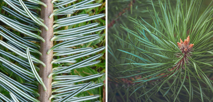 Difference entre pin et sapin