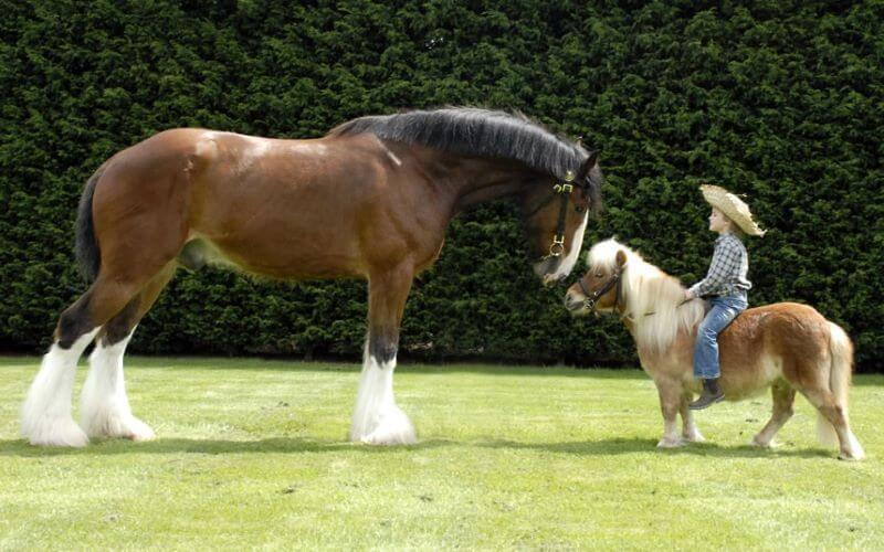 Difference entre poney et cheval