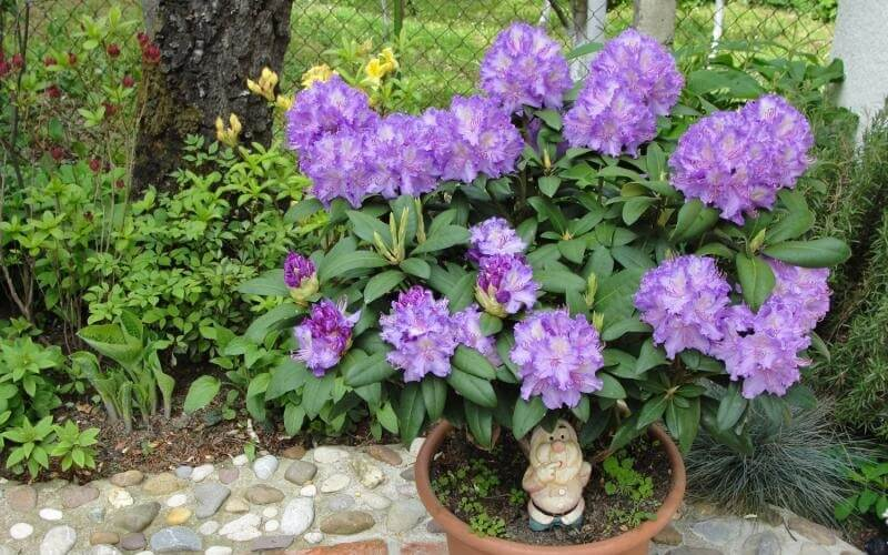 Quand rempoter un rhododendron