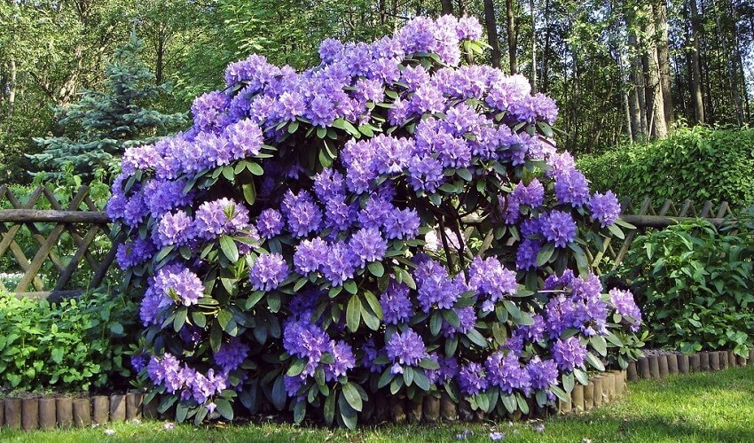 Quand tailler les rhododendrons