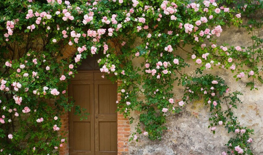 Quand tailler les rosiers remontants